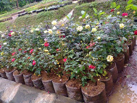 jual tanaman hias  murah jual tanaman hias murah