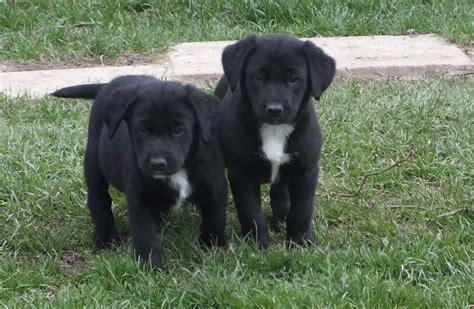 lab collie mix puppies black lab border collie mix puppies memes
