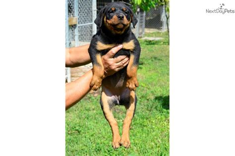 rottweiler pups for sale with docked tails akc docked german fem top quality rottweiler puppy for sale near south