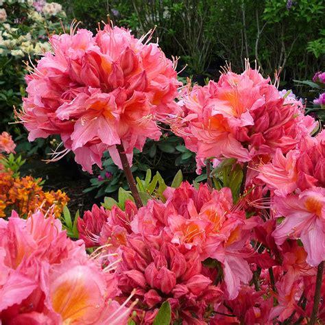 Garten Und Pflanzen Katalog by Garten Azalee Pink Delight Kaufen Bei G 228 Rtner P 246 Tschke