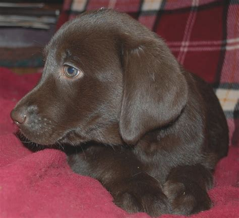 maine lab puppies 23 top risks of lab puppies near me lab puppies near