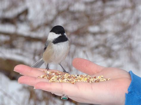 feeding birds in the winter