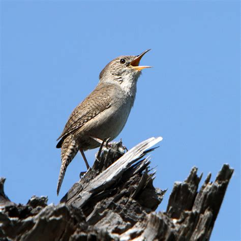 file house wren in full song cropped png wikimedia commons
