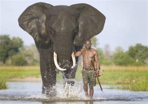 african elephant facts african bush elephant facts anatomy diet habitat