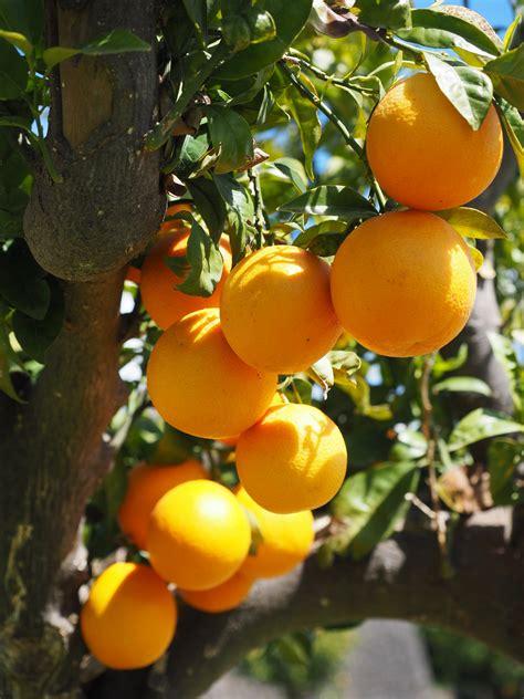 Pohon Jeruk pohon jeruk mandarin 72402 vizualize