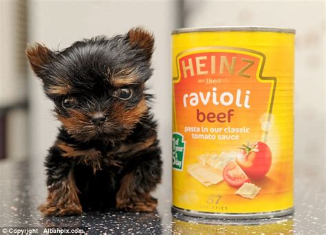 smallest yorkie in the world is this the smallest puppy in the world tiny