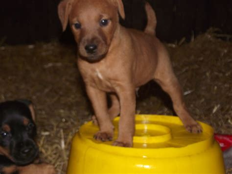 patterdale terrier puppies for sale beautiful patterdale terrier puppies honiton pets4homes
