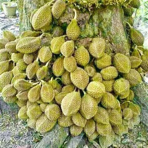 hamparan seni panduan menanam durian