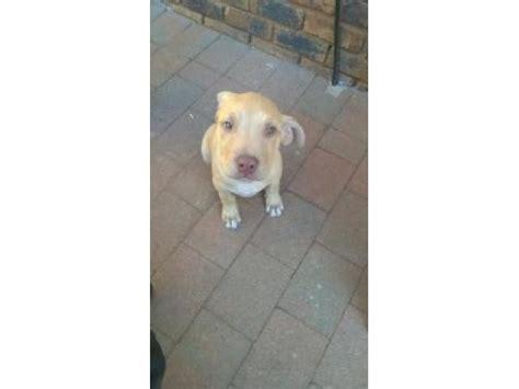 pitbull puppies for sale in colorado pitbull puppies for sale pretoria ad land south africa