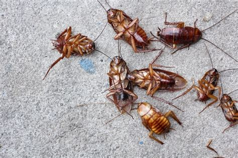 how do bed bugs breed 6 ways to prevent cockroaches in breeding in your house