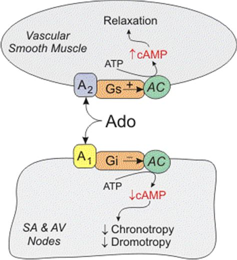 CV Pharmacology | Adenosine G Protein Coupled Receptors Diagram