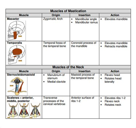 sample muscle chart 9 free documents in pdf