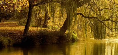 of willow image gallery willow tree