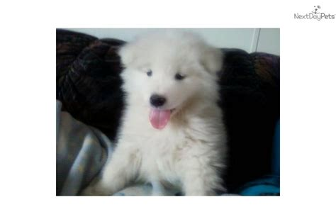 puppies for sale fargo nd samoyed puppy for sale near fargo moorhead dakota 63da40c4 4661