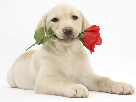 puppy with flowers with flower dogs animals background wallpapers on desktop nexus image 1062286