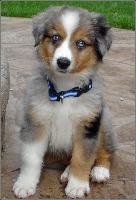 australian shepherd puppies for adoption australian shepherd blue merle for adoption breeds picture
