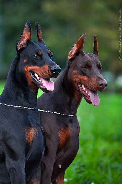 doberman colors dobermans doberman pinscher and colors on