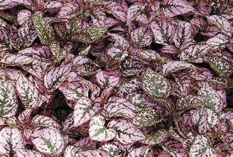 pink foliage plants alternatives to impatiens impatiens walleriana