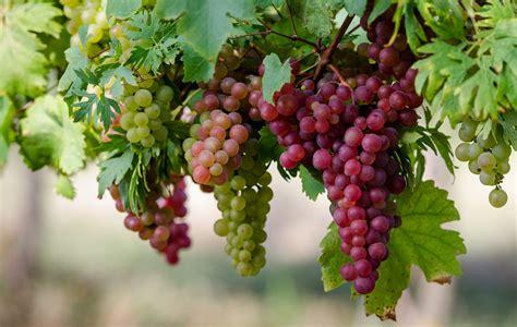 uva da tavola la maggior parte delle uve da tavola verr 224 esportato in