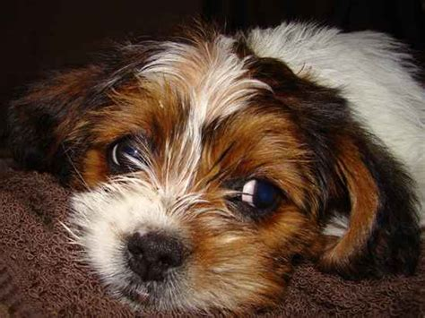 beagle shih tzu bea tzu bea tzus shih tzu beagle hybrid polyvore breeds picture