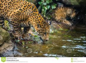 Jaguar Jungle Jaguar In The Jungle Stock Photo Image 36152960