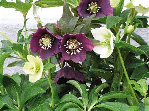 elleboro fiore elleboro helleborus giardinaggio mobi