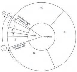 cell coloring worksheet cell cycle diagram worksheet bio 111 inquiry active