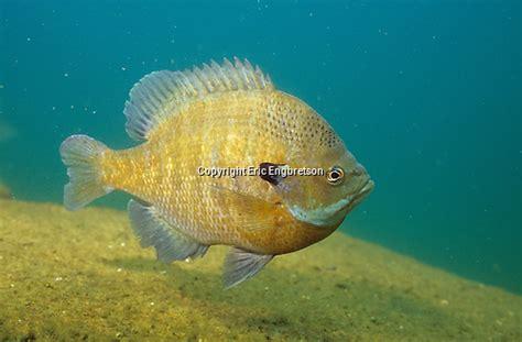 engbretson underwater photography wisconsins shrinking