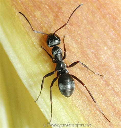 tuin een grote mieren nest gardensafari mieren formicidae