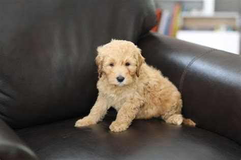 goldendoodle puppy week by week 1000 images about mini goldendoodles 2015 on