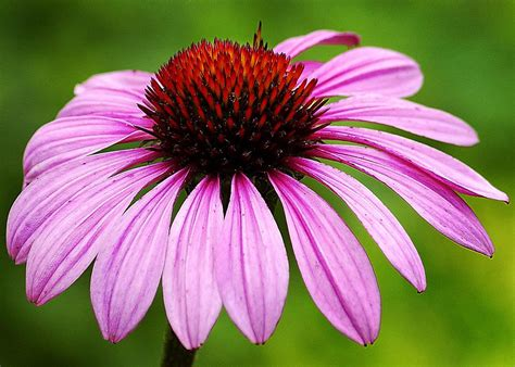Flowers Images - ed goodfellow web images flowers cone flower