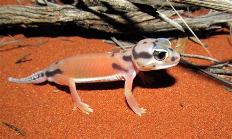 Knob Tailed Gecko by Did 189 Gecko Species Migrate To Australia Together