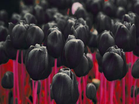 Gamis Tulip Black chrysanthemums wallpaper 1600x1200 66350