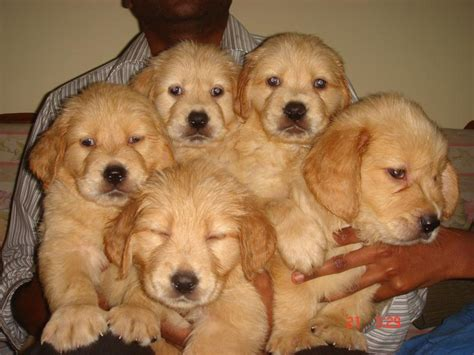 price for golden retriever puppies golden retriever puppy price in india