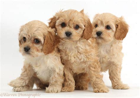 three puppies dogs three cavapoo puppies photo wp38334