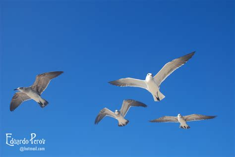 imagenes de jordan volando gaviotas volando galer 237 as fotonatura org