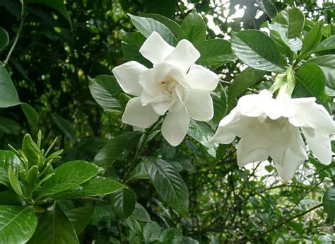 Gardenia Yellow Leaves Epsom Salt Epsom Salt Gardenias And Roses Secrets Of A Seed Scatterer
