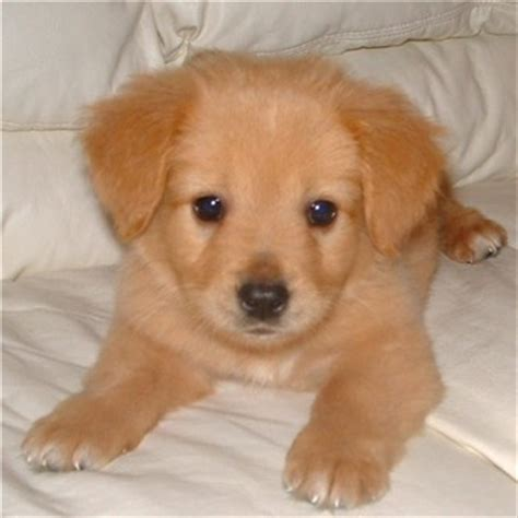 pics of golden retrievers puppies golden retriever puppy rocky picture