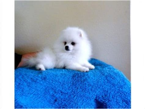 pomeranian breeders in arkansas tiny micro pomeranian puppies ready texarkana ar asnclassifieds
