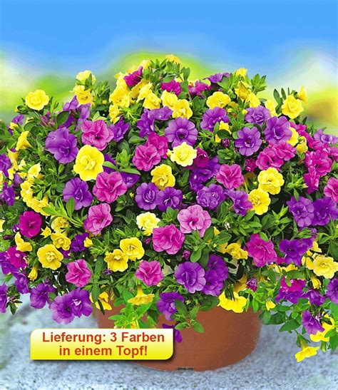Lieferzeit Baldur Garten by Zaubergl 246 Ckchen Petunie Trixi 174 Pet Petunien Bei Baldur Garten