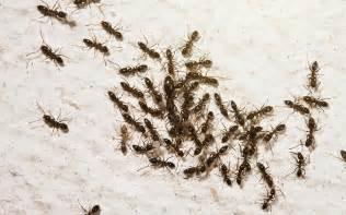 tuer fourmis fourmis rouges fourmis volantes bordeaux 33