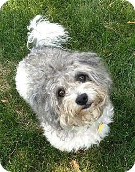havanese dogs mn edina mn havanese poodle miniature mix meet scooter d130677 a for adoption