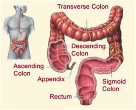 Detox Transverse Colon by Anatomy Of Your Digestive System