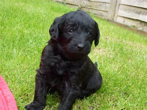 black labradoodle puppy miniature black labradoodle pups marlborough wiltshire pets4homes