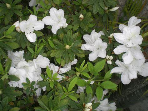 white flowering shrubs file hk plants shatin shing mun river white flowers 1 jpg