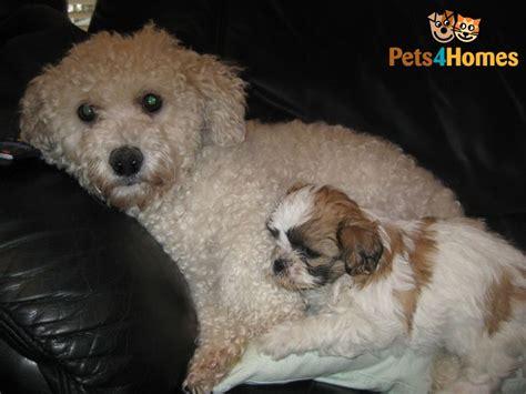 bichon frise cross shih tzu puppies bichon frise cross shih tzu puppies bracknell berkshire pets4homes