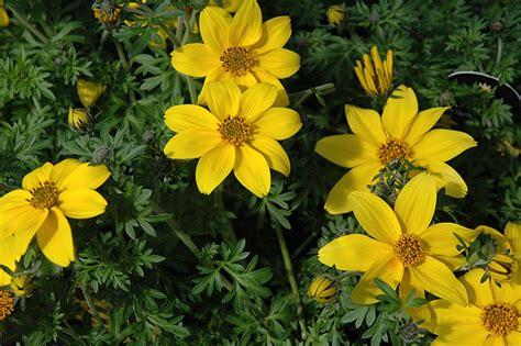 Bidens Pflanze by Yellow Charm Bidens Bidens Ferulifolia Yellow Charm In