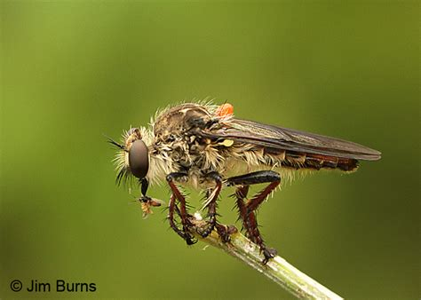 Fly L robber fly