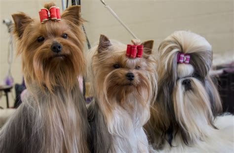 shih tzu yorkies what your favorite breed says about what you were like in high school barkpost