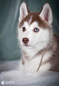 why do huskies different colored husky puppies baby huskies